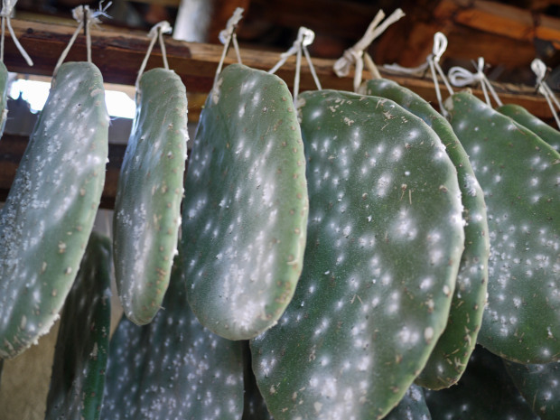 Cochineal on Nopal pads